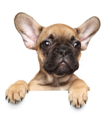 Close-up of a French Bulldog Puppy above banner, isolated on white background