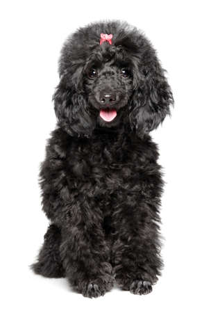 Happy Toy Poodle puppy on white background. Baby animal theme
