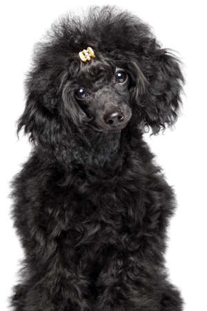 Charming black Toy Poodle puppy on white background. Baby animal theme, front view
