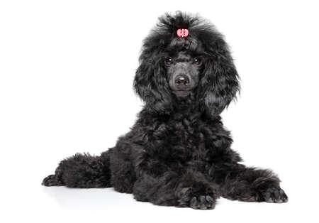 Black toy poodle puppy, gracefully lying on white background. Baby animal theme