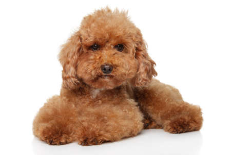 Funny red Toy Poodle puppy lying on white background