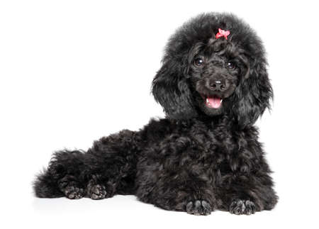 Happy Toy Poodle puppy graceful lying on a white background. Baby animal theme Stok Fotoğraf