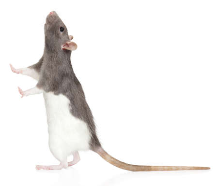 Decorative rat stands on its hind legs and looks up, isolated on white background, side view