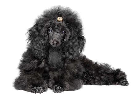 Black toy Poodle puppy lying on white background. Baby animal theme