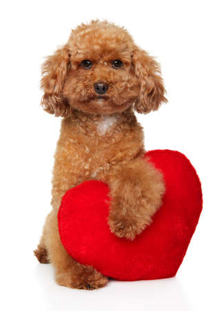 Funny young red Poodle with red Valentine heart, posing on white background. Animal themes Stok Fotoğraf