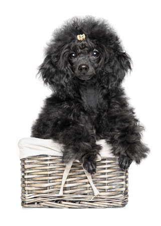 Toy Poodle puppy in wicker basket on white background. Animal themes