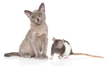 Portrait of a young Cat and Rat on a white background Stok Fotoğraf