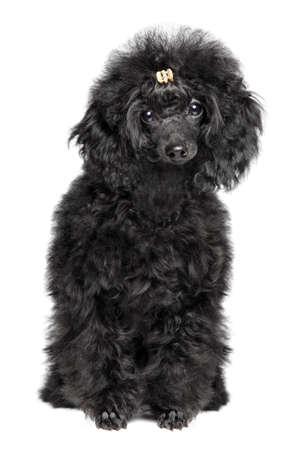 Black Toy poodle puppy sits on white background. Stok Fotoğraf