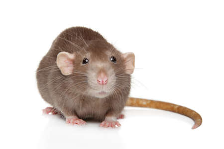 Close-up portrait of a decorative Dumbo rat, on white background, front view Stok Fotoğraf