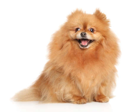 Happy Spitz dog sits in front of white background. Animal themes
