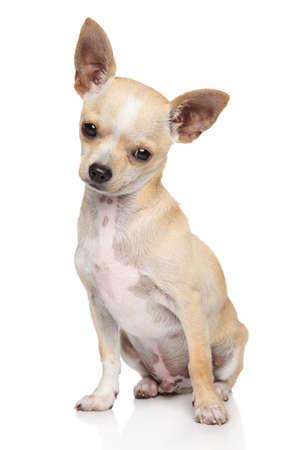 Adorable Chihuahua dog sitting on white background. Animal themes
