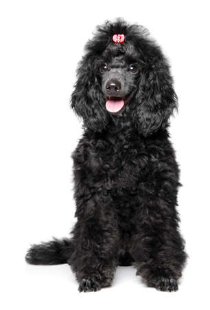 Black Poodle puppy sits on white background, front view. Animal themes Stok Fotoğraf