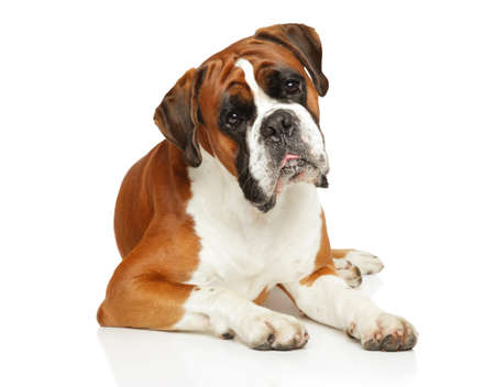 Young Boxer dog lying in front of white background. Animal themes