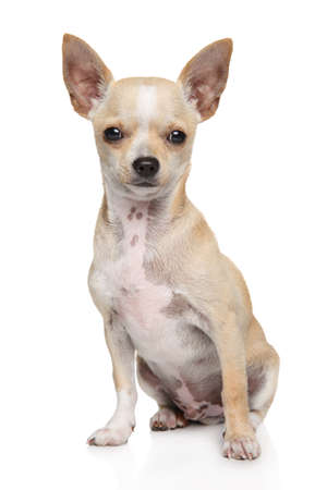 Young Mexican Chihuahua dog sits in front of white background. Animal themes, front view