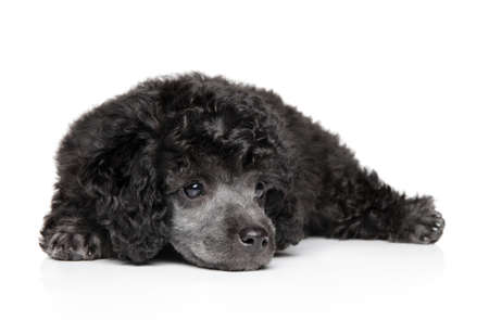 Portrait of gray toy poodle puppy on white background. The theme of baby animal