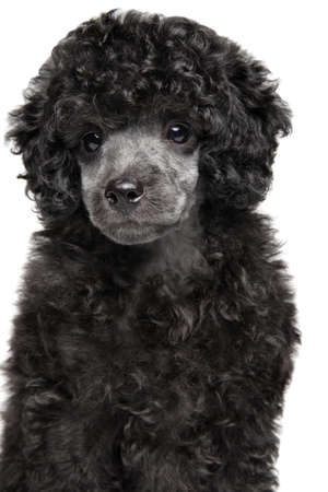 Close-up portrait of gray Toy Poodle puppy on white background, front view