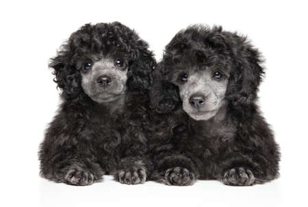 Two gray Toy Poodle puppies lying on white background, front view. Baby animal theme