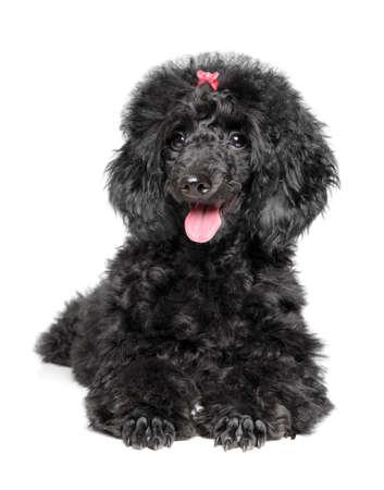 Black Poodle puppy resting on white background. Baby animal theme Stok Fotoğraf