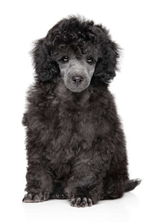 Portrait of cute gray Toy Poodle puppy on white background