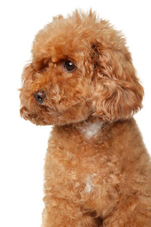 Portrait of a young red Toy Poodle puppy on a white background