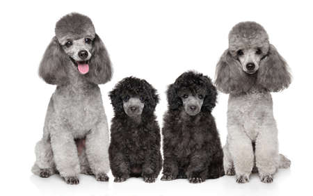 Portrait of a family of Grey Poodles on a white background