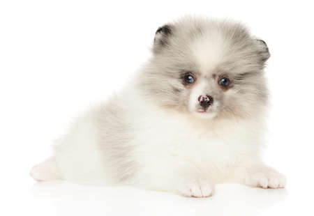 Marble color Pomeranian Spitz puppy lying in front of white background. Baby animal theme