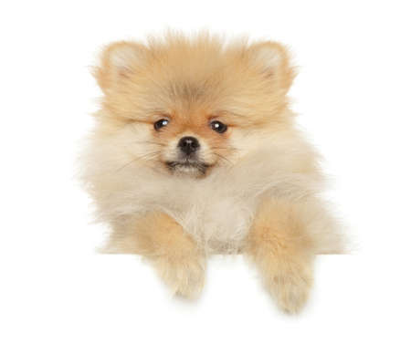 Funny Pomeranian Zwerg Spitz puppy above white banner, front view