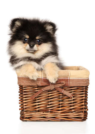 Pomeranian Spitz puppy posing in wicker basket on white background. The theme of baby animals