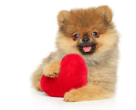 Happy Pomeranian Spitz puppy with red Valentine heart on white background