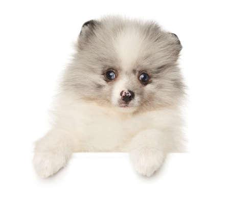 Pomeranian Zwerg Spitz puppy marble color above white banner