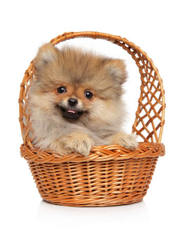 Spitz puppy posing in wicker basket on a white background. Baby animal theme