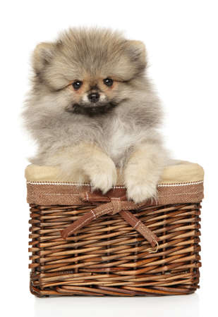Pomeranian Spitz in basket on white background, front view. Baby animal theme