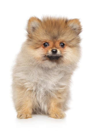 Cute Spitz puppy sits on white background, front view
