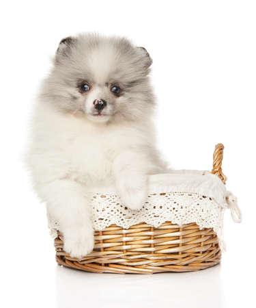 Pomeranian Zwerg Spitz puppy sits in wicker basket on white background. The theme of baby animals Stok Fotoğraf
