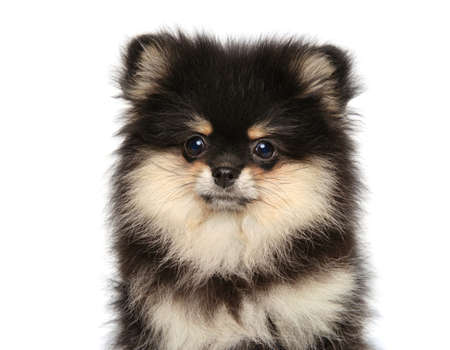 Close-up portrait of a Spitz puppy on a white background. The theme of baby animals.