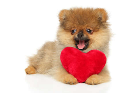 Happy Pomeranian Spitz puppy with red Valentine heart lying in front of white background Stok Fotoğraf