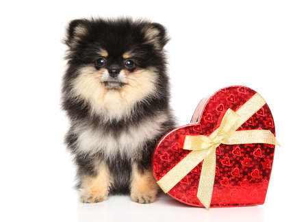 Spitz puppy with red Valntine heart posing on white background. The theme of baby animals