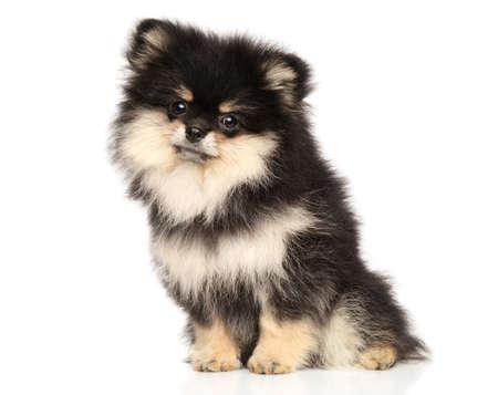 Black and tan Zwerg Spitz puppy posing on white background Stok Fotoğraf