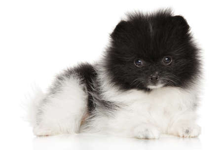 Cute Pomeranian Spitz puppy looking at the camera on a white background