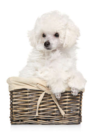 The white Poodle s puppy is sitting in a wicker basket. The theme of baby animals. Stok Fotoğraf