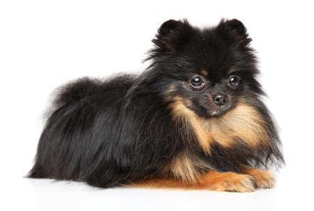 Pomeranian black and tan colors lies on a white background Stok Fotoğraf