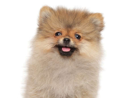 Close-up of a Happy Spitz puppy, isolated on white background