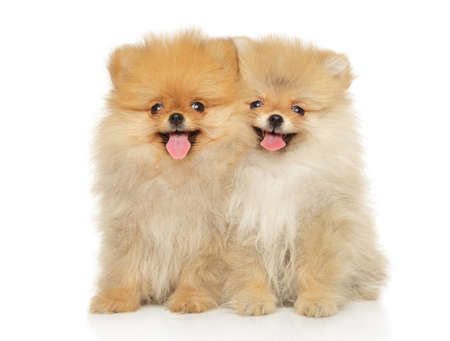 Two funny and happy Pomeranian puppies sitting on a white background