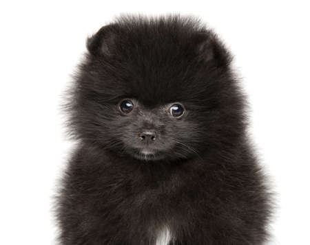 Close-up of a Black Zwerg Spitz puppy on a white background Stok Fotoğraf