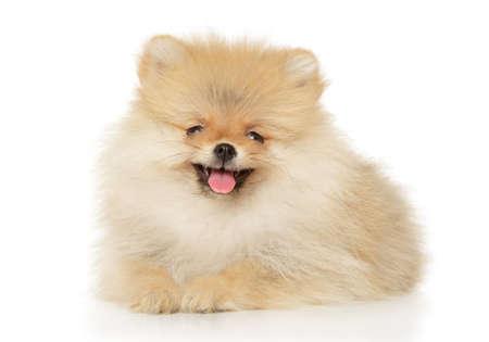 Charming Pomeranian Spitz puppy lying in front of white background Stok Fotoğraf