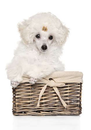 Toy poodle puppy sitting in a wicker basket, front view