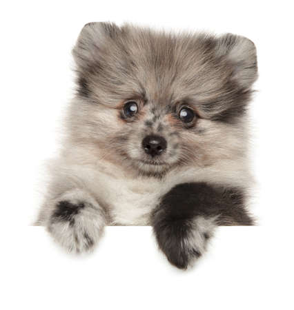 Close-up of a Pomeranian Spitz puppy above white banner. The theme of baby animals