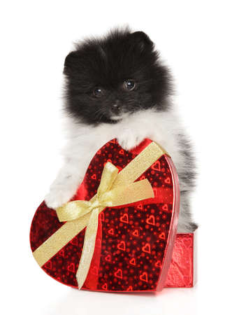 Puppy Spitz in a gift box in the shape of a heart on a white background Stok Fotoğraf