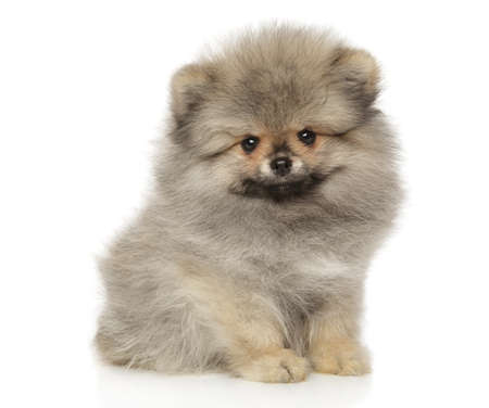 Cute Pomeranian Spitz puppy sits in front of white background. The theme of baby animals