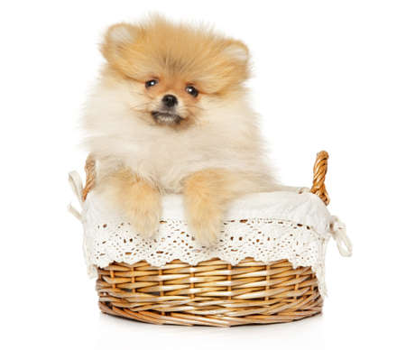 Pomeranian Spitz puppy sits in wicker basket, on a white background. The theme of baby animals Stok Fotoğraf